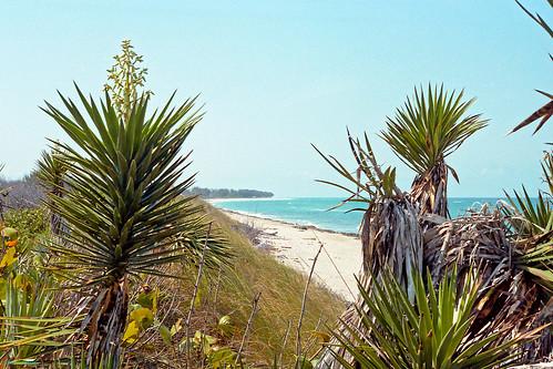 beach landscape scenery florida jupiter 1986 scrub yucca spanishbayonet