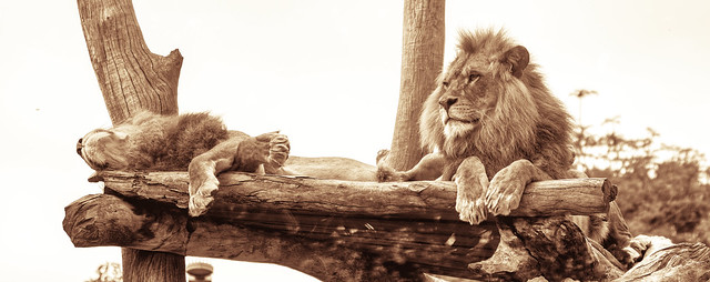 Lions in Sepia
