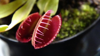Venus Flytrap 009 | by scribeofshadows