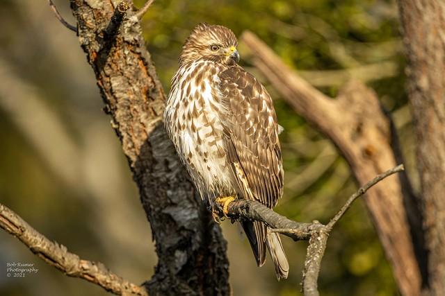 Immature Red-shouldered Hawk.