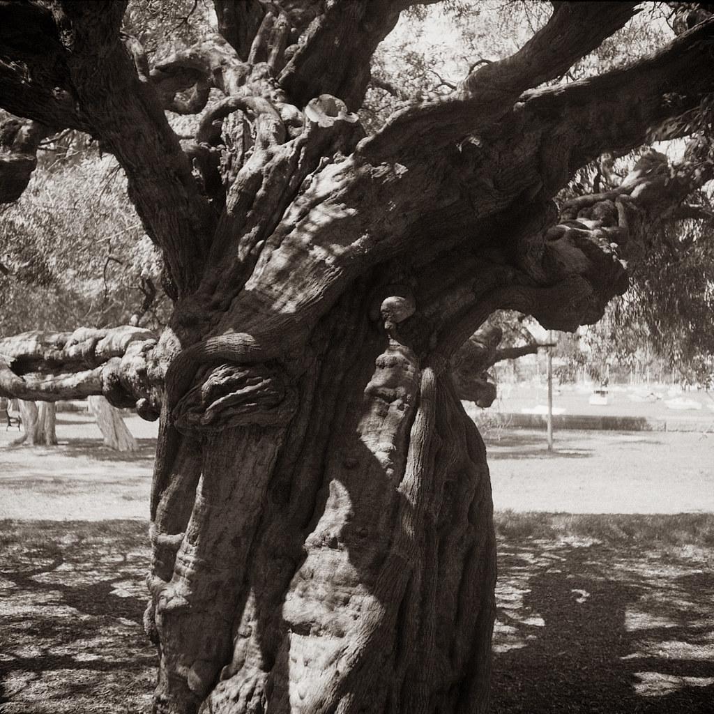Tree 7 @Rushcutters Bay