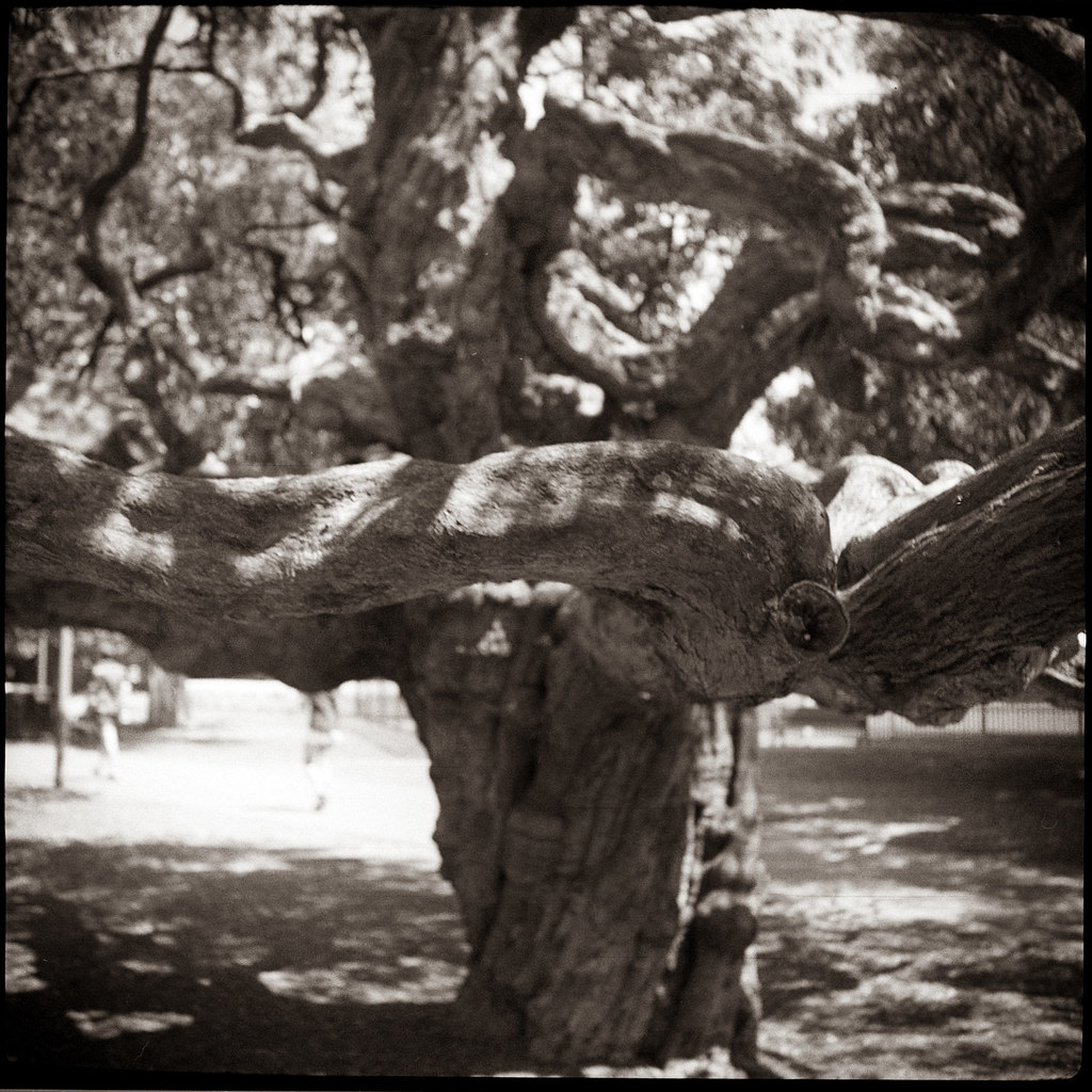 Tree 4 @Rushcutters Bay