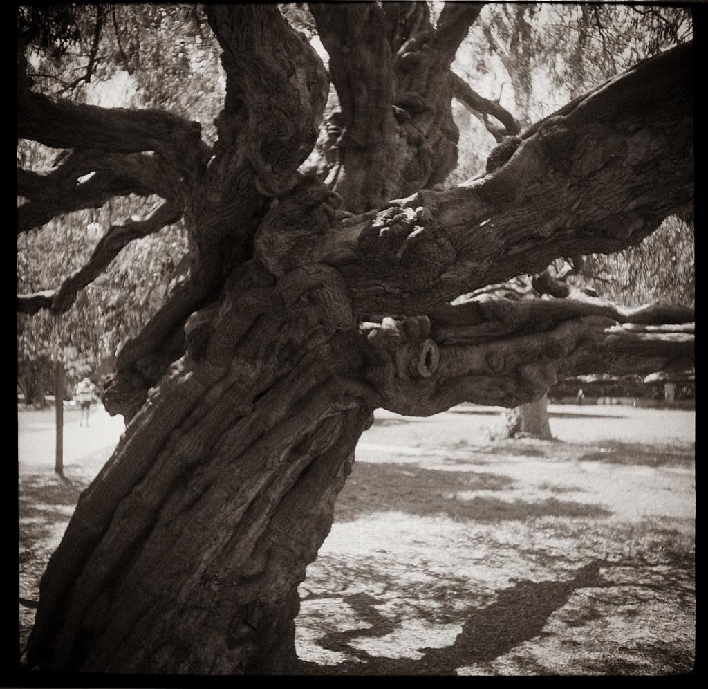 Tree 6 @Rushcutters Bay