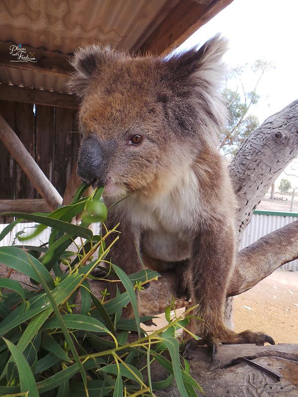 Glen Forest Tourist Park & Vineyard Australia koala