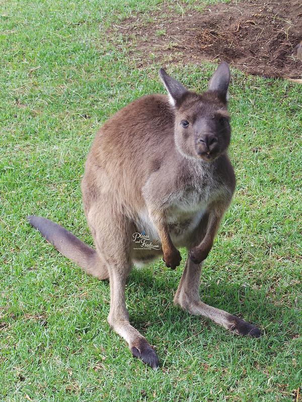Glen Forest Tourist Park & Vineyard Australia baby kangaroo