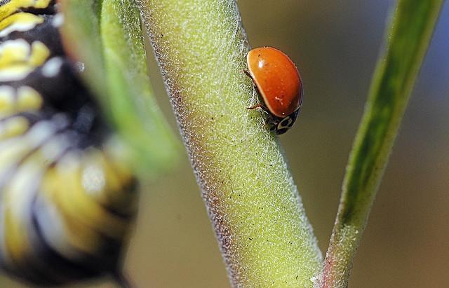 Sharing the milkweed