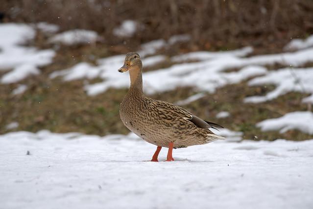 Mallard Duck (F) | Light Snow