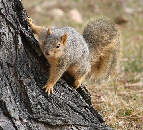 Squirrel Reference #1