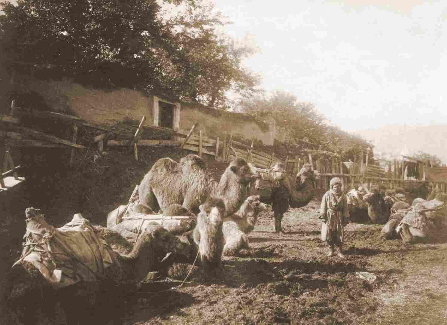 Группа верблюдов на постоялом дворе и погонщик