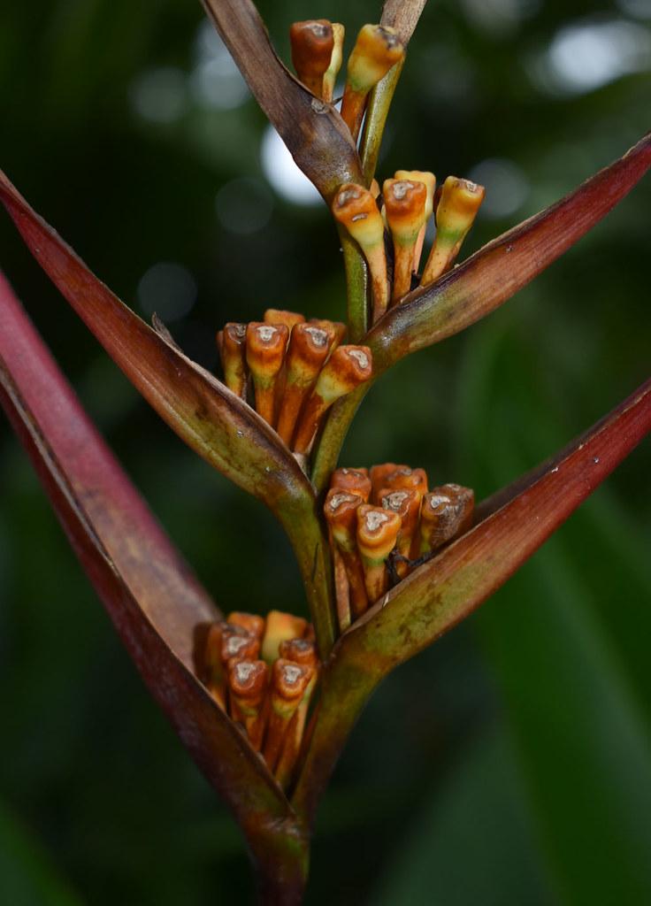 Heliconia psittacorum?, Flecker Botanic Garden, Cairns, QLD, 07/01/21