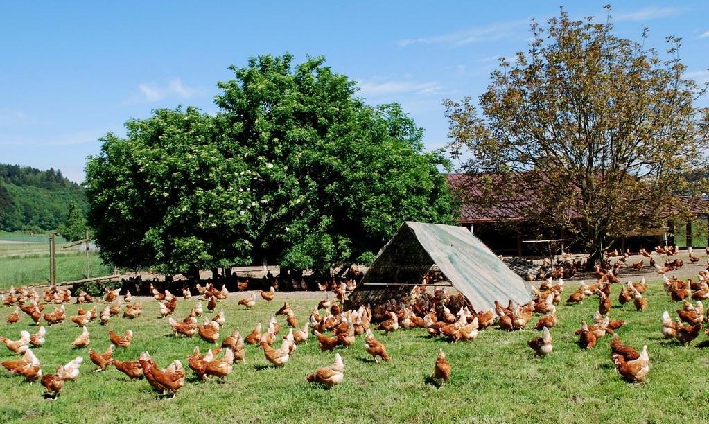 別吃血汗雞蛋-瑞士最嚴養雞標準,保障「雞權」