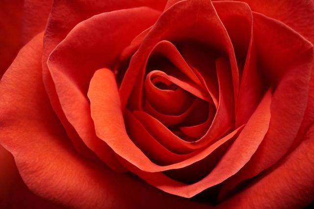 Cut roses #2