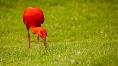 Scarlet ibis (Explored)  (由  mahesh.kondwilkar