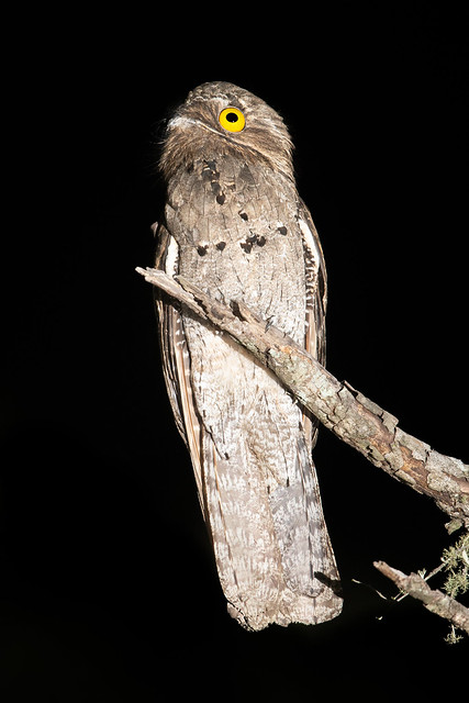 Common Potoo - Nyctibius griseus