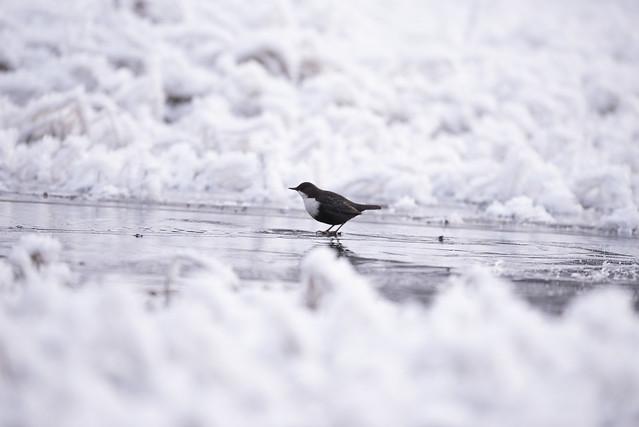 A dipper in winter