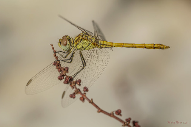 Sympetrum sinaiticum. Young male.