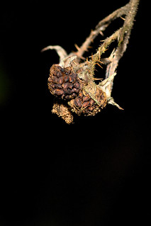 Withered Berries