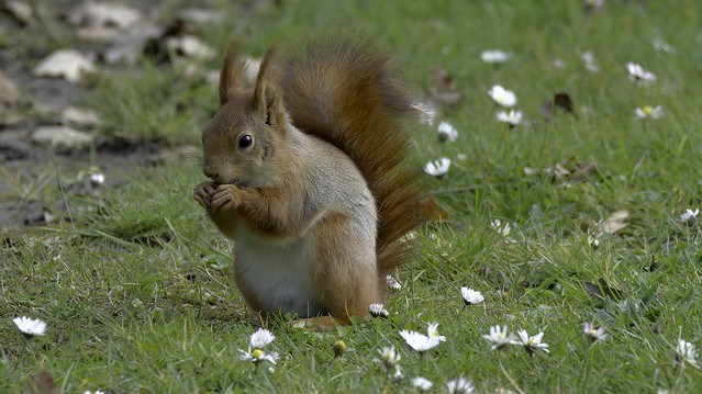 a Red Squirrel eating