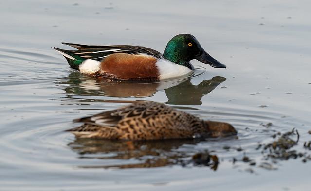 Luv' a Duck.   Shoveler