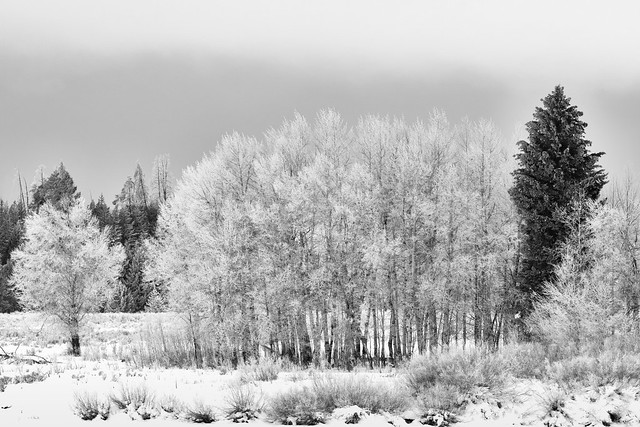 Trees at Oxbow Bend