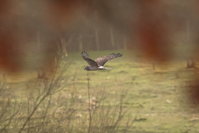 Hen Harrier Dec 2020