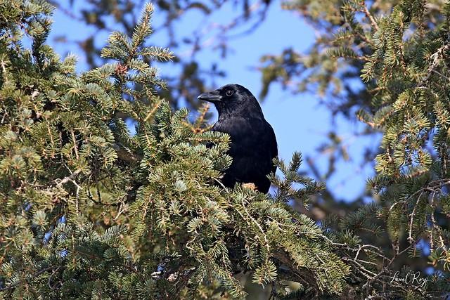 1.18926 Corneille d'Amérique / Corvus brachyrhynchos brachyrhynchos / American Crow