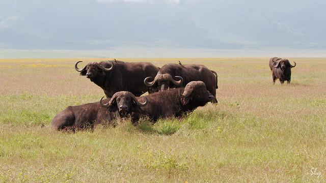 Buffles - Ngorongoro crater - Tanzanie