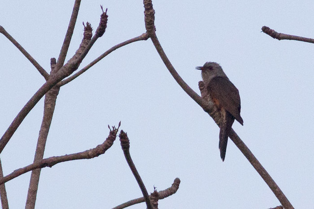Plaintive Cuckoo  - male