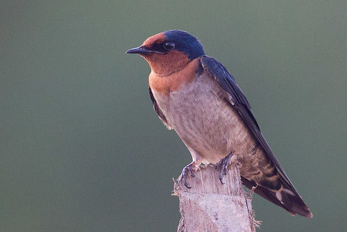 Pacific swallow | by steve happ
