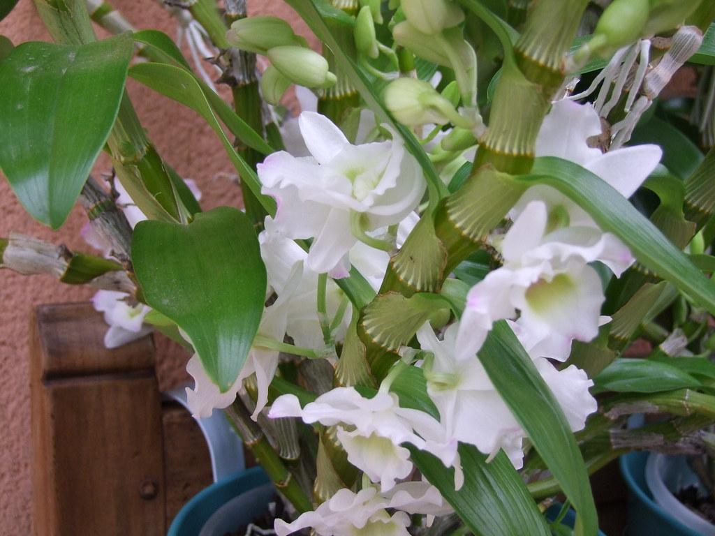 Dendrobium hybride type nobile