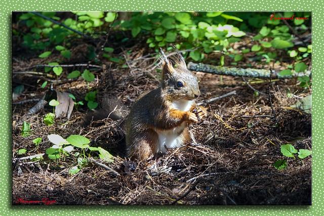 Écureuil roux  Sciurus vulgaris  Red squirrel