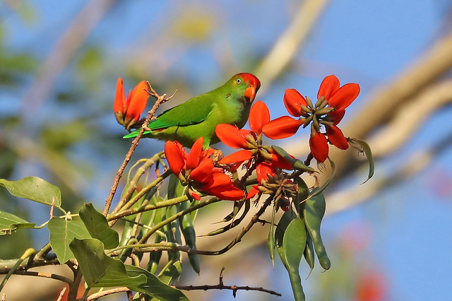Sri Lanka Hanging Parrot ♂ Loriculus beryllinus
