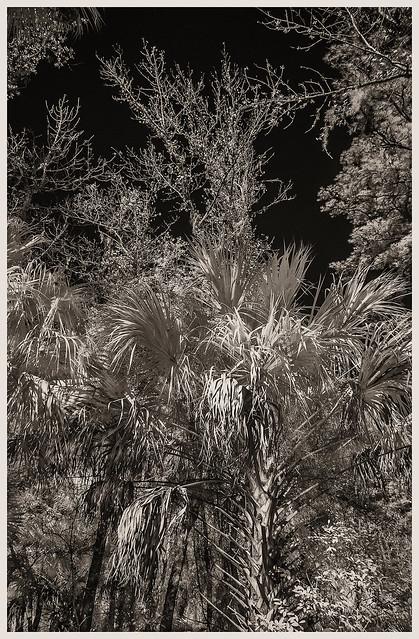 Lake Woodruff IR #1 2021; Pine Flats with Palms