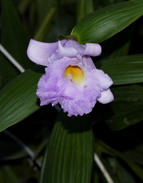 very out of season bloom for Sobralia Veitchii primary hybrid orchid 1-21