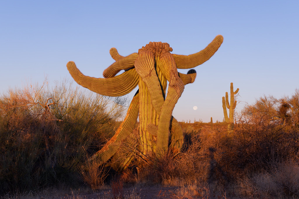 The moon sets behind the saguaro I call the Green Elephant on the Latigo Trail at McDowell Sonoran Preserve in Scottsdale, Arizona on December 30, 2020. Original: _CAM8668.arw