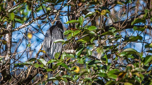 Naples, Florida - Corkscrew Swamp - Hiding in the Trees
