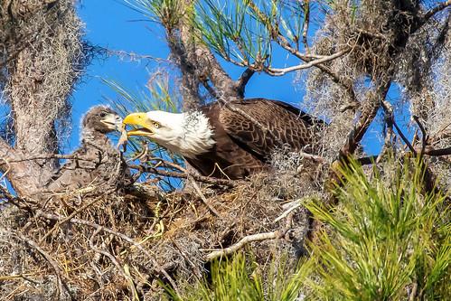 outdoor raptor dennis adair tierra verde nature wildlife 7dm2 7d ii ef100400mm canon florida bird beak eagle ngc
