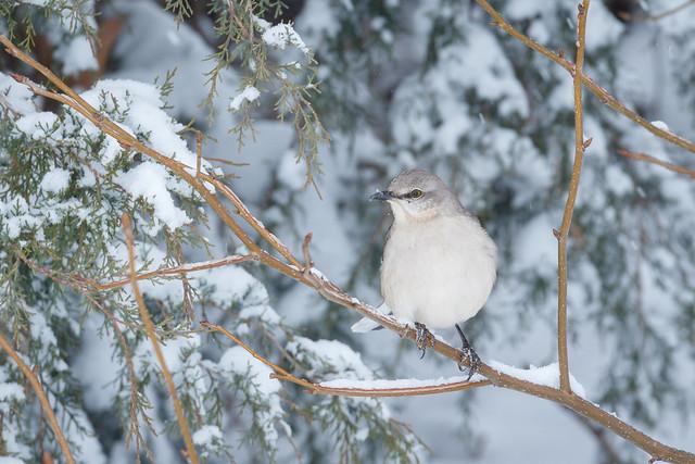 Mockingbird in Snow