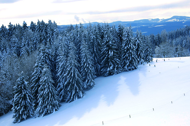 Mysterious & Beautiful - Black Forest Spruce