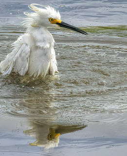 Snowy Egret Shaking Its Do
