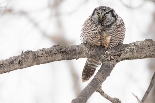 Northern Hawk Owl winking.