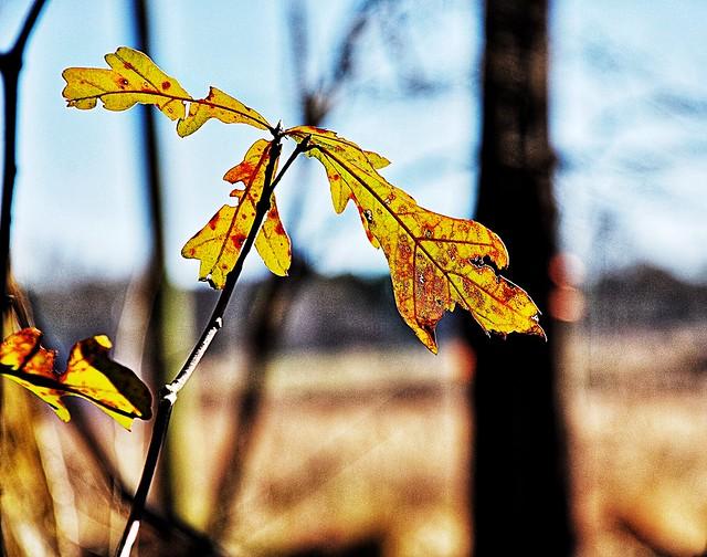 """White Oak Leaves in Winter ('Quercus alba')"""