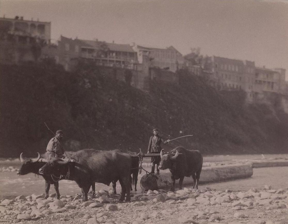 Вывоз из реки на берег 12-ти аршинных бревен 2-мя парами буйволов