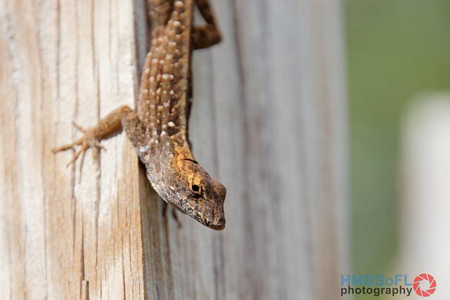 Lizard looking at me