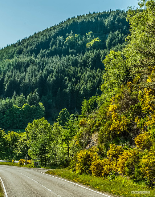Summer in the Highlands. Broom, deciduous leaves and coniferous needles make for a colourful, sunlit scene by the A. 831. at Aigas between Beauly and Cannich.