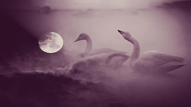 the romantic swans