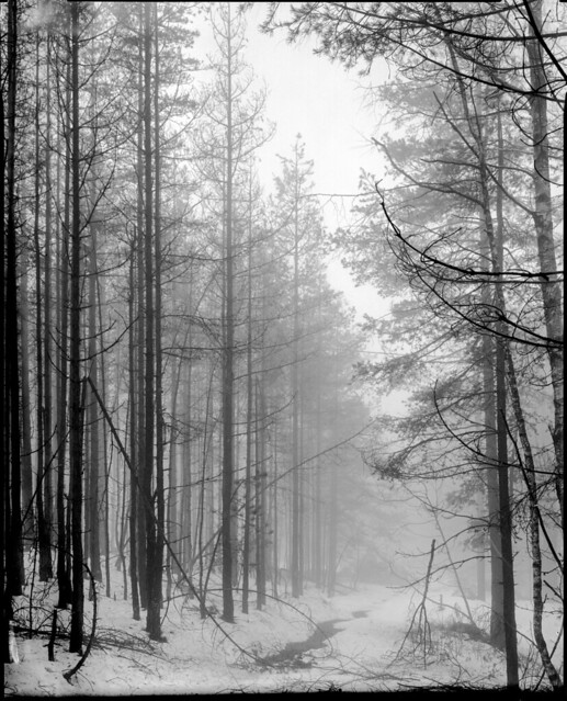 Fog, snow & parallel trees