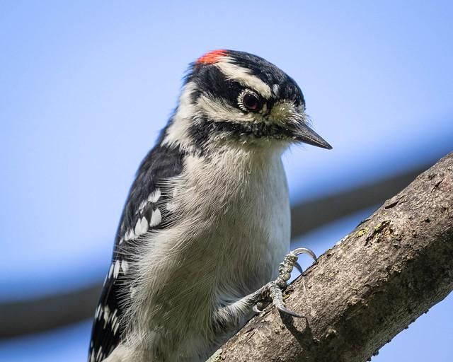 Downy Woodpecker portrait