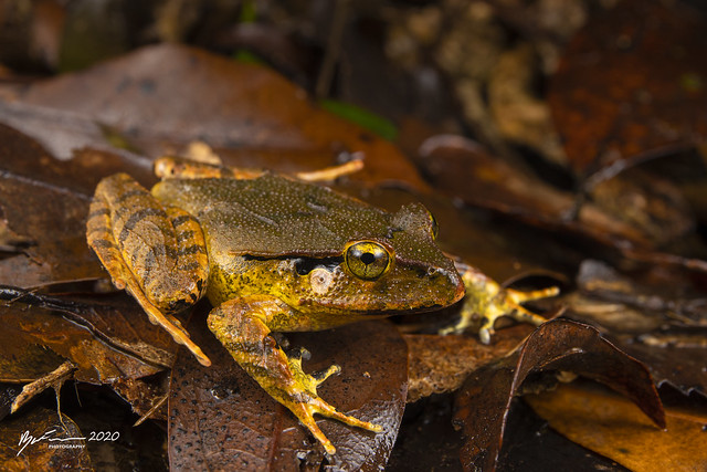 Sandpaper Frog