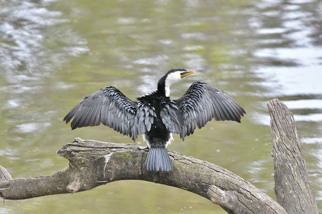 Little Pied Cormorant  ( taking a rest )